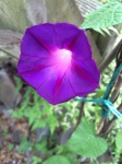Photograph of morning glory flower